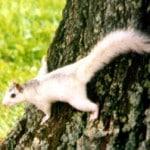 White Squirrel 1